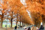 メタセコイア並木の紅葉がピークに。「メタセコイア紅葉まつり」開催!