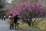 寿長生の郷 梅まつり開催中(3/4~3/20)