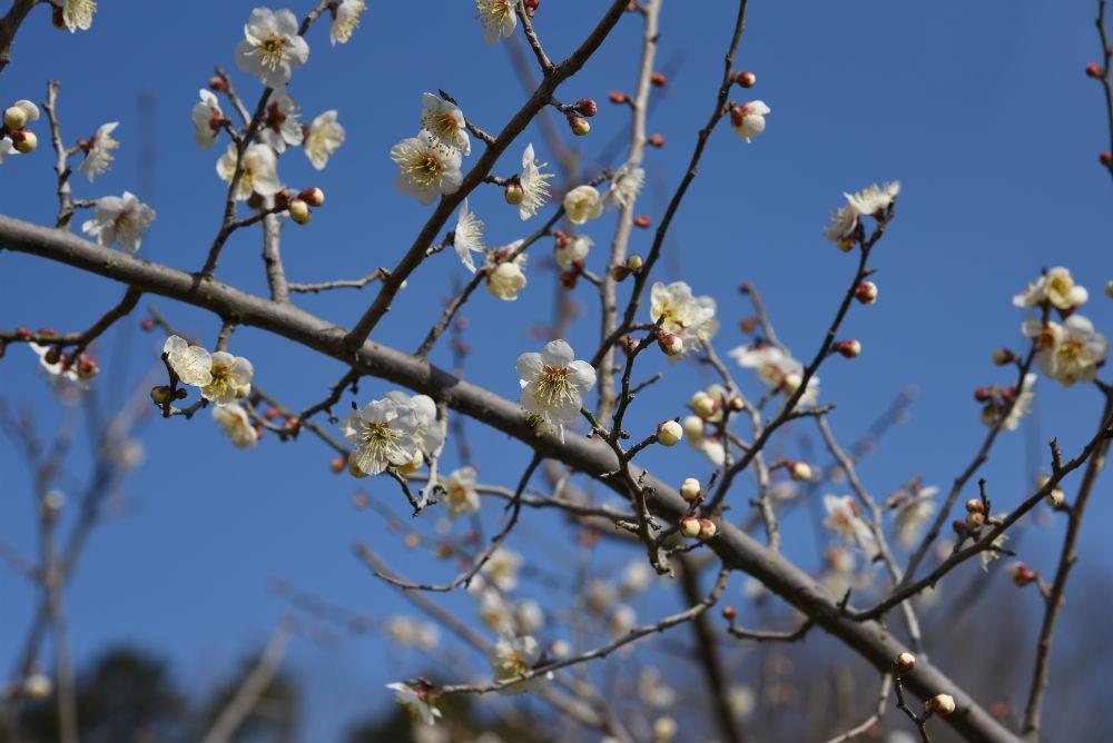 【3月21日(祝)まで】花の宴!梅まつり2018 in 叶匠壽庵 寿長生の郷