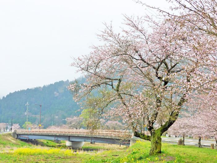 桜と菜の花と雪山の供宴!滋賀最北の湖でお花見祭