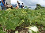 2017子ども農業体験「水口かんぴょうの収穫と皮むき」