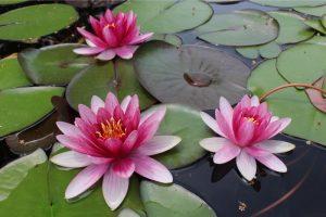 【6/11〜30】今が真っ盛り! 多彩なスイレンの開花を間近で【みずの森スイレン展】