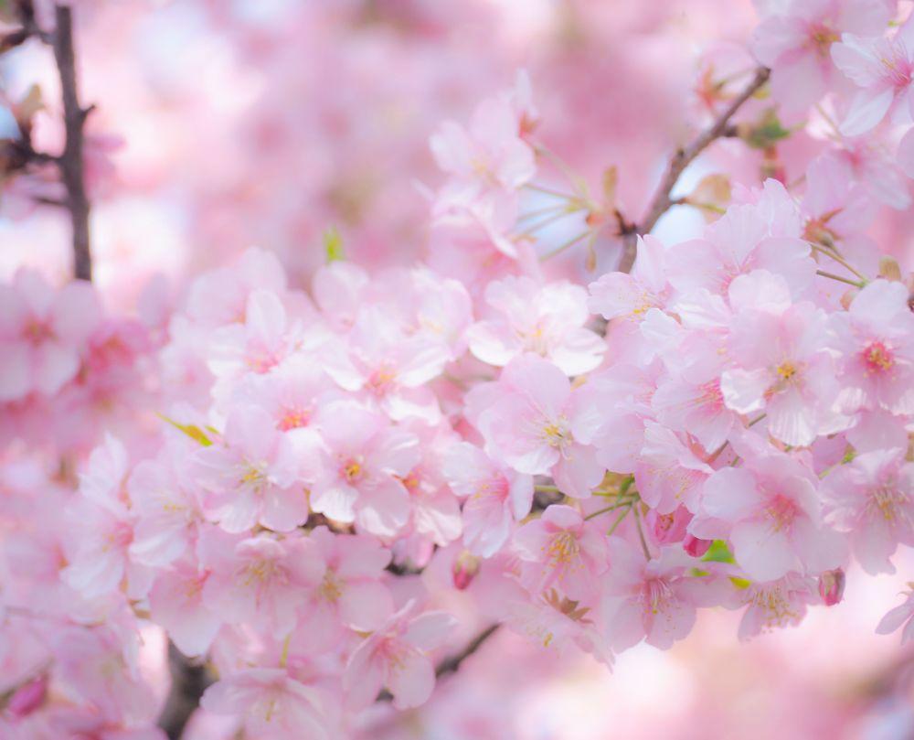 滋賀の桜スポット4選