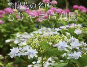 100種類1万本の紫陽花!!【行ってきました】もりやま芦刈園【アジサイ】